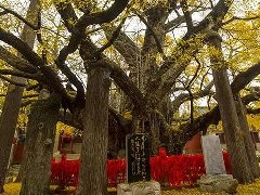 """有无空洞一测便知,太原市采用新技术给古树做""""心电图"""""""